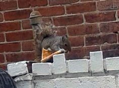 Important news! Philly has a Pizza Squirrel:  Kathy Rockwell stumbled upon it in the 1600 block of Ritner Street in South Philly just last week. The squirrel was just resting on top of a fence, holding a piece of plain pizza nearly as large as its body.  Pizza Rat went viral about two years ago after it pulled a slice of pizza down the stairs of a New York City subway station.  But, clearly, Philadelphia's Pizza Squirrel is superior.