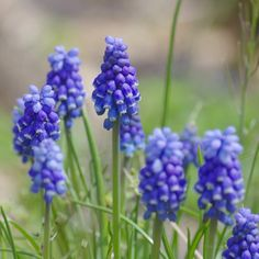ムスカリ Muscari / Grape hyacinth