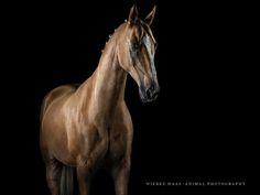 """Parzival"" - Akhal-Theke - Photo: Wiebke Haas | www.wiebke-haas.de #AkhalTheke #AchalTekkiner #Equine #Equus #equinephotography #horse #horsephotography #pferdefotografie #pferd #palomino"