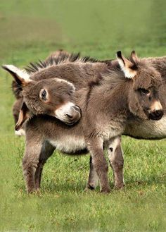 Laying head on the little donkey. Grooming?