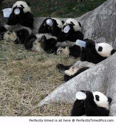 Babies panda drink milk