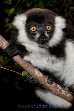Black-and-white Ruffed Lemur, Varecia variegata, sitting in trees of the Masai Mara GR, Kenya. by Joe McDonald Beautiful Creatures, Animals Beautiful, Animals And Pets, Cute Animals, Joe Mcdonald, Kenya Travel, Out Of Africa, Lemur, Primates