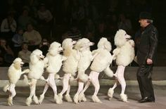 poodles wallpaper | Conga Line - Poodle Style, Poodles from large standard to miniature ...