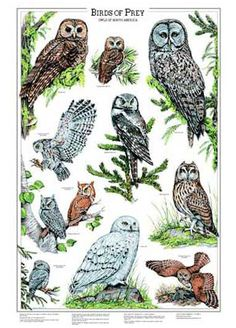 Owls Bird Chart Vol 2 - Eleven fine art illustrations owls: barn, p;igmy, great horned, screech, burrowing, boreal, long-eared and more. A companion print to our item 158. Collect both volumes.