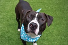 """WILBUR - A1107316 - - Manhattan  TO BE DESTROYED 04/11/17  A volunteer writes: """"Willllburrrr!"""" 2 year-old Wilbur must get that a lot but it's the first thing I say when I see him. As handsome as a thoroughbred and happy as a clam, Wilbur is an Oreo cookie on four legs, only much more delicious and exponentially more sweet. Wilbur came into our care along with his housemate after their family could no longer care for them. But Wilbur is clearly no stranger"""