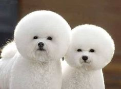 Beautifully rounded Bichon heads