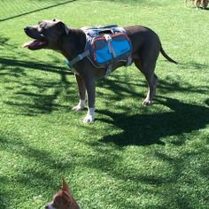 Can you spot a Taco and a Coco? Ps. My new Dog Backpack is on sale today only! Save $10 with code WORKINGDOGS10 at checkout on www.cesarsway...