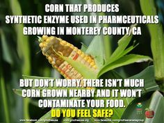 After creating messes that a half-million bushels of soybeans and more than 150 acres of corn had to be destroyed.    http://www.montereycountyweekly.com/news/local_news/monterey-county-is-poised-to-get-its-first-gm-crop/article_19f33dce-5a29-11e4-9cb5-001a4bcf6878.html  http://www.sfgate.com/science/article/GMO-experiments-receive-questionable-oversight-5740478.php  #PharmaCorn #GMO #TrypZean #AppliedBiotechnologyInstitute #Monterey #California #Lockwood #gmofreecalifornia #gmofreeusa