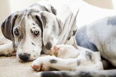 Picking up our newest member of the family tomorrow, a merle great dane similar to this one! (: