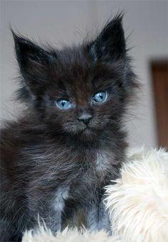 Precious blue-eyed kitten