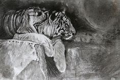 In Dreams - Tiger by Susie Gordon Charcoal ~ 14 x 17 Animal Drawings, Charcoal, Artwork, Painting, Animals, Dreams, Conservation, Tigers, Vancouver
