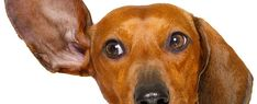 Discover how to treat your dogs ear infection without going to the vet. the number one secret to getting rid of your dogs ear infection at home is. over-the-counter dog ear infection medicine. Ear Infection Home Remedies, Dogs Ears Infection, Cleaning Dogs Ears, Dog Cleaning, Yeast In Dogs Ears, Meds For Dogs, Dog Meds, Dog Hot Spots, Foster Dog