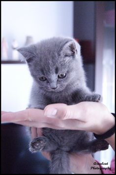 British shorthair kitten by arualcat