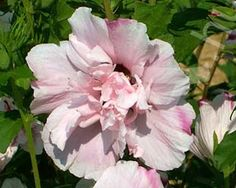 Plnokvětý kultivar s bílo-růžovými květy a červeným očkem uprostřed. Tento druh dorůstá do výšky 1,5-2m a šířky 1-1,5m.