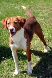 ABBIE is an adoptable Beagle Dog in Ashland, OH. ABBIE CAME IN AS A STRAY, NO BACKGROUND  INFORMATION. SHE IS APPROXIMATELY 3 YEARS OLD, NOT CAGE TRAINED, WILL BE SPAYED WHEN ADOPTED.. Available as of 5/17/13