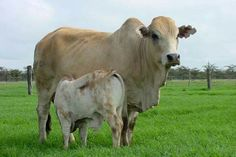 Boran, cow and calf. Country Life, Country Living, Beef Cattle, Farm Yard, Livestock, Cows, Sheep, Calves, Families