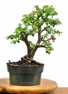 die 397 besten bilder von bonsai in 2017 jade pflanzen. Black Bedroom Furniture Sets. Home Design Ideas