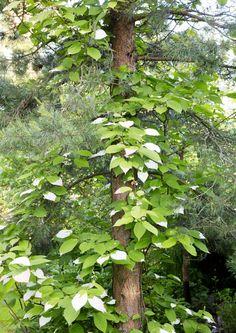 Jos rakastat metsän tunnelmaa, tuo se myös pihaasi. Metsäpuutarha syntyy luonnon antimista. Lue Meidän Mökki inspiroivat ideat. Shade Garden, Garden Plants, Woodland Garden, Climbers, Greenery, Plant Leaves, Shades, Exterior, Flowers