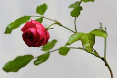 Small Red Rose After the Rain