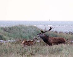 Die Hirschbrunft am Darßer Ort   Hirschbrunst an der Ostsee (c) Frank Koebsch (2)