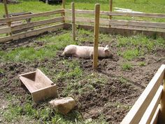 Raising your own pigs