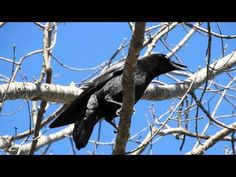 A conversation with Angel the Crow on March 26th, 2016