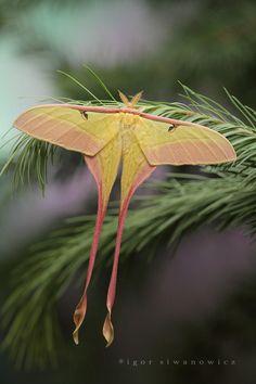 Chinese Luna Moth (Actias dubernardi) Photo: Igor Siwanowicz