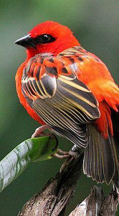 Tropical Birds, Exotic Birds, Colorful Birds, Cute Birds, Pretty Birds, Beautiful Creatures, Animals Beautiful, Photo Animaliere, Most Beautiful Birds