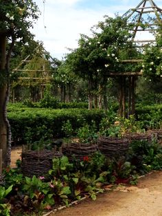 Babylonstoren's garden. Growing Rhubarb in the vine baskets to protect them from the sun. Right next to the citrus block.