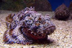 Known as the most venomous fish in the world, the Stone Fish lives on the bottom of reefs, camouflaged as a rock. Description from funnyjunk.com. I searched for this on bing.com/images