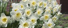 "A photograph of the the spring flowering Daffodil Bulbs cultivar ""Ice Follies"""