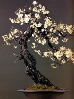 A textura e cor escura do tronco contrastam com o colorido vivo das suas  flores.