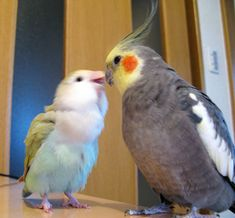 cockatiel & peach-faced