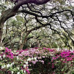 Azaleas blooming in Forsyth Park