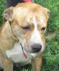 25 Nutmeg is an adoptable Pit Bull Terrier Dog in Canton, OH. ��� Available 7/24. Nutmeg came in loaded with ticks.� Even the inside of her ears were full of ticks.� She�was a pretty good girl while v...