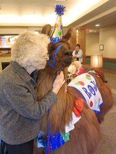 Rojo the Therapy Llama bringing joy and happiness #animalsarebeautiful