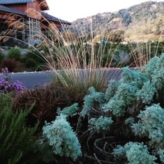 #sideoftheroad  I'm thinking Artemisia 'powis castle'  and deer grass.... Any thoughts?  #hollisterdesignstudio #hollisterstudio #landscapedesign #landscapedesigner #plants #gardens #design #designlovers  #droughttolerant #gardendesign #napa #sonoma #instagardeners #garden  #gardener #garden_styles #gardendesign #gardenlife #garden_explorers #gardenart #gardensofinstagram #gardenlover #gardenporn #gardentime #gardeninspiration #gardenview #gardenwalk #horticulture