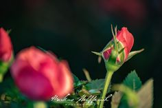 Mini Rose - Miniature roses stop growing when they reach about 15 inches in height.