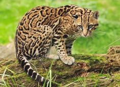 Ocelot is a very lovely animal and it can be dangerous. Find out here all interesting facts about Ocelot and photos-images of Ocelot. Small Wild Cats, Small Cat, Big Cats, Cats And Kittens, Ocelot, Most Beautiful Animals, Beautiful Cats, Spotted Cat, Clouded Leopard