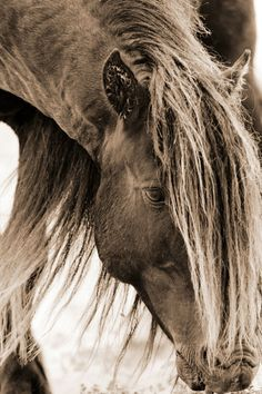 The Wild Horses of Sable Island |  Somewhere in time's own space There must be some sweet pastured place Where creeks sing on and tall trees grow Some paradise where horses go... poem fragment by Stanley Harrison