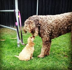 Scout the pup meets Annie the giant! A tender motherly meeting ... don't forget Happy Mothers day to those dogs out there too! #labradoodle #spoodle #dog #dogleash #dogmeeting #puppy by loyal.d