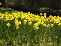 Daffodils at Fairhaven Woodland and Water Garden, Norfolk Broads, 25 March 2014