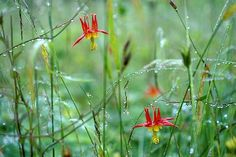 Columbine Flowers - these come in all colors!