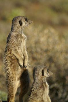 Meerkats in the Karoo Heartland, Kangaroo, South Africa, African, Sweet, Nature, Animals, Baby Bjorn, Candy
