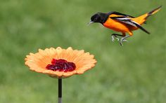 How to attract Baltimore Oriole  to your yard by Birds & Blooms reader Ramona Doebler