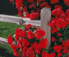 red roses climbing on a split rail fence