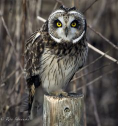 Short Eared Owl -