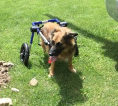 Wellness Wednesdays – Marley | Dog Wheelchairs, Dog Carts, Handicapped Pets Canada