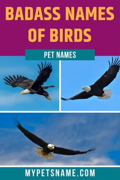 If you want the name of your new pet bird to be truly awesome and cool, there are plenty of routes to choose from. From famous personalities to classic video game characters, take a look through our list of badass names of birds to find some super cool inspiration.  #namesofbirds #badassnamesofbirds #birdnames Cool Pet Names, Badass Names, Exotic Names, Names Of Birds, Classic Video Games, Common Names, Bird Species, Pet Birds, Bald Eagle