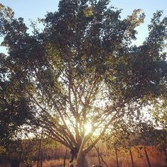 A árvore beijada pelo sol-The tree kissed by the sun  #tree #kissed #by #sun #beatiful #beauty #nature #beleza #natural #arvore #beijada #sol #nascerdosol #instaphoto